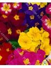 Примула весенняя Палитра (Primula veris elatior)