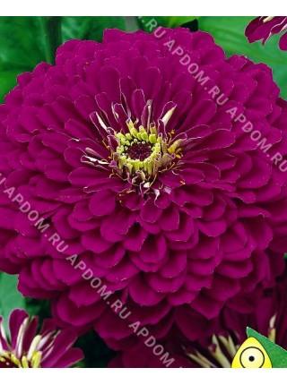 Цинния Пурпурный Принц