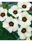 Гибискус тройчатый (Hibiscus trionum)